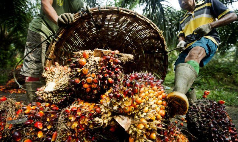 Recolectores para fabricar aceite de palma