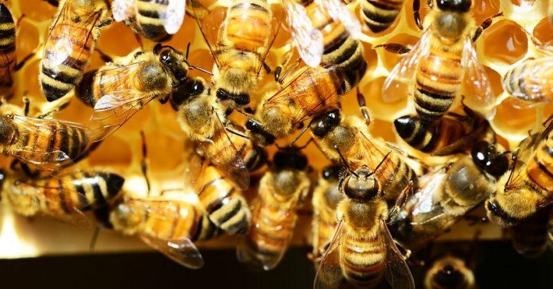 Abejas fabricando miel